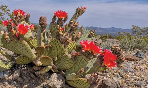 The Broad-Leafed Cactus